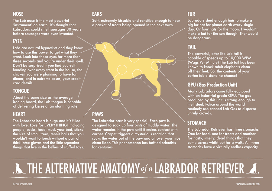 Alternative Anatomy of a labrador Retriever