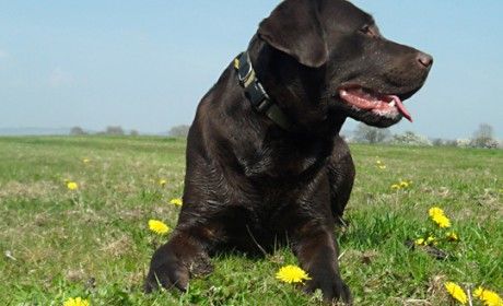 Labrador Retriever in a field of flowers
