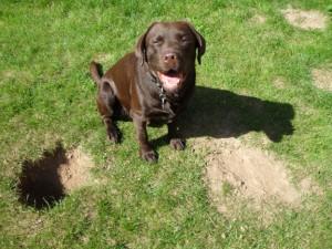 Labrador Digging