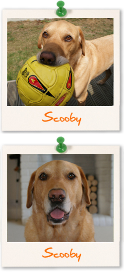 Scooby the Labrador Retriever
