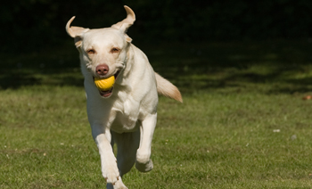 Labrador playing flyball