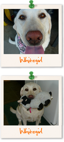 Whitegirl the Labrador