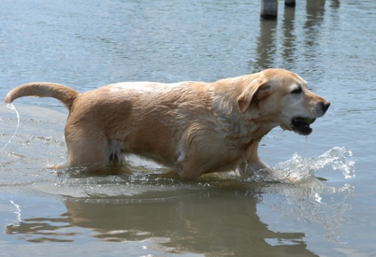 Yellow Labrador Retriever in water