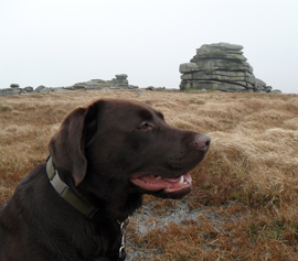 Monty the Labrador on Dartmoor