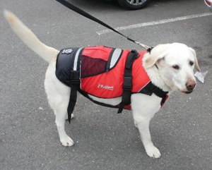 Labrador Retriever wearing a dog life jacket
