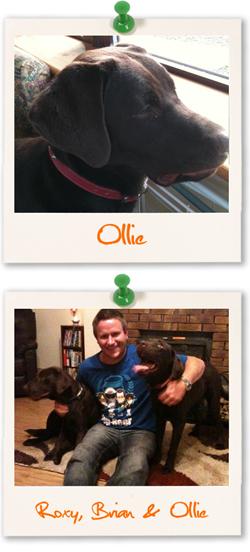 Ollie the chocolate Labrador Retriever