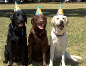 Black, yellow and chocolate Labradors