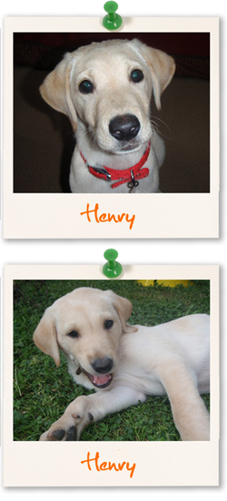 Labrador Retriever of the week - Henry