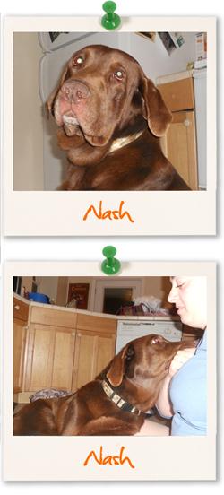 Labrador Retriever of the week - Nash