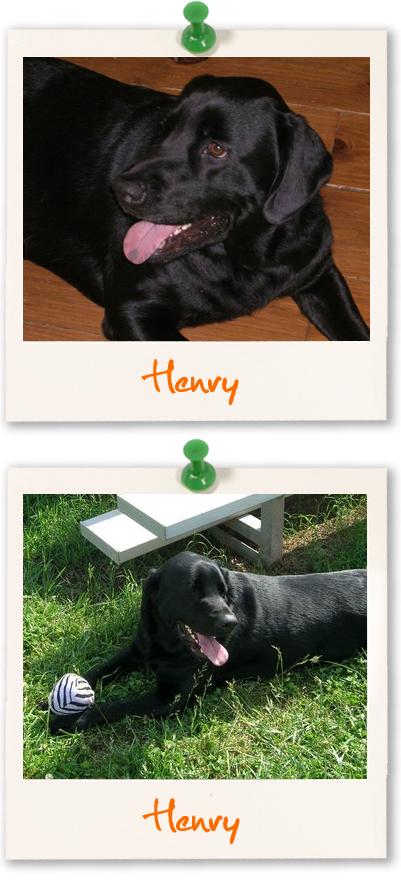 Labrador Retriever of the week - Henry