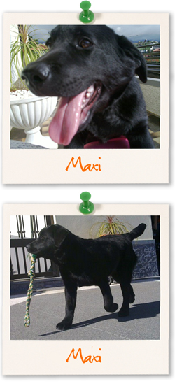 Labrador Retriever of the week :: Maxi