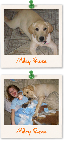 Labrador Retriever of the week - Miley Rose