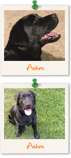 Labrador Retriever of the week :: Astro