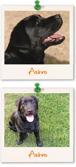 Labrador Retriever of the week :: Astro