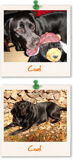 Labrador Retriever of the week :: Coal