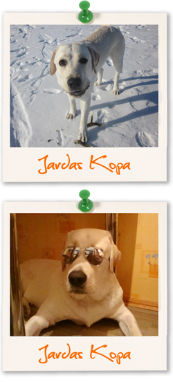 Jardas Kopa. Labrador Retriever of the week.