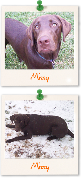 Labrador Retriever of the week :: Missy