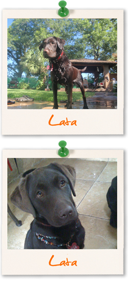 Labrador of the week :: Lata from Mexico