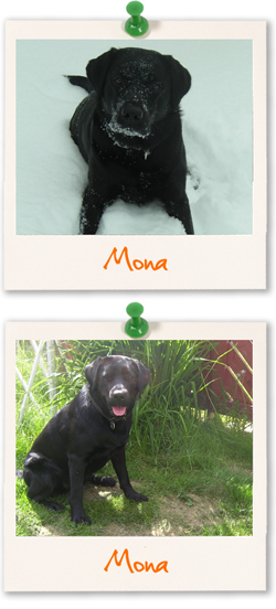 Labrador Retriever of the week :: Mona