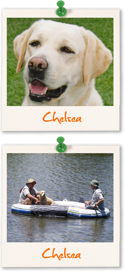 Labrador Retriever of the week :: Chelsea