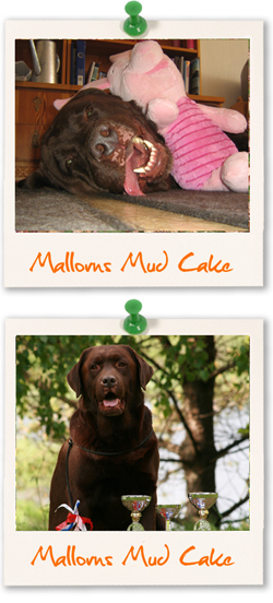 Labrador Retriever of the week :: Mallorn's Mud Cake