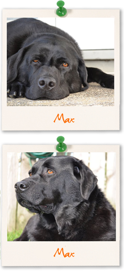 Labrador Retriever of the week :: Max