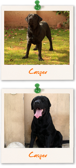 Labrador of the week is Casper