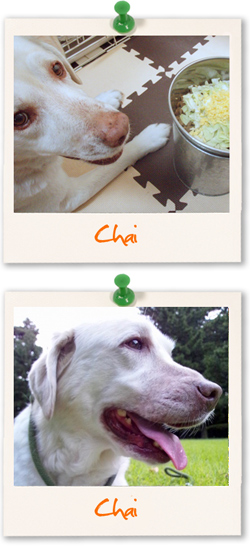Labrador Retriever of the week :: Chai