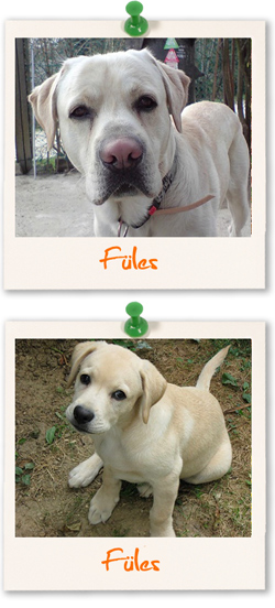 Labrador Retriever of the week :: Füles