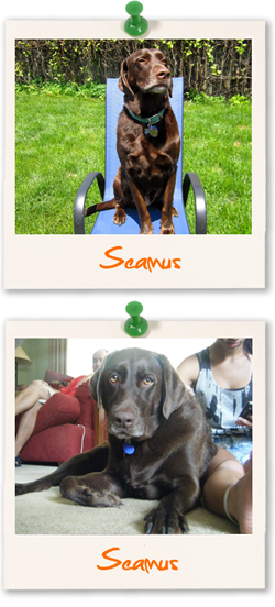 Labrador Retriever of the week - Seamus