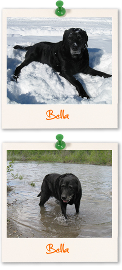 Bella - Labrador of the week