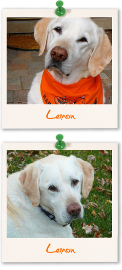 Labrador Retriever of the week :: Lemon