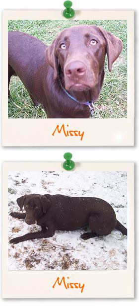 Labrador Retriever of the week - Missy
