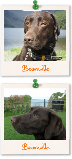 Labrador Retriever of the week, Bournville
