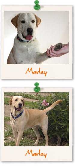 Labrador Retriever of the week - Marley