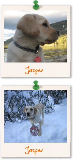 Jasper, Labrador Retriever of the week