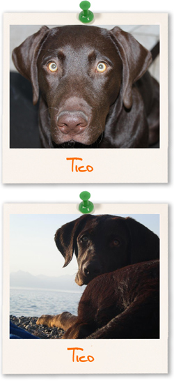 Labrador Retriever of the week - Tico