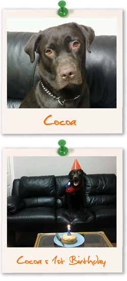 Labrador Retriever of the week is Cocoa