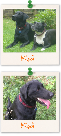 Kodi - Labrador Retriever of the week
