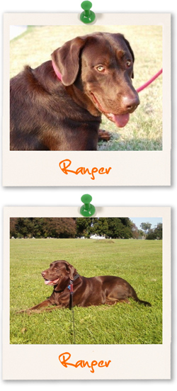 Labrador of the week - Ranger