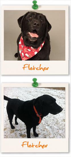 Labrador Retriever of the week is Fletcher