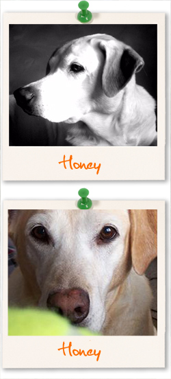 Labrador Retriever of the week - Honey