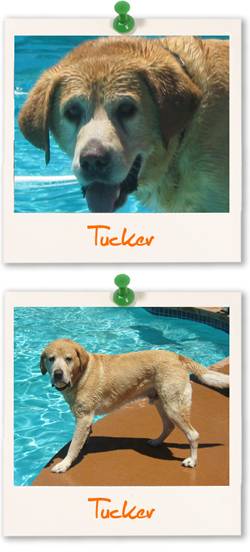 Labrador Retriever of the week - Tucker