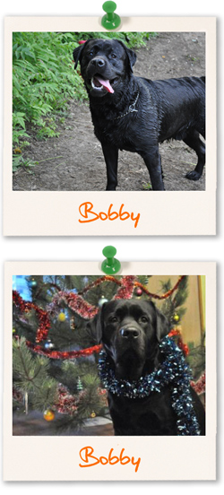 Labrador Retriever of the week is Bobby