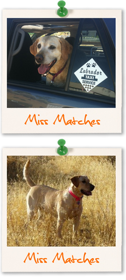Labrador of the week is Miss Matches