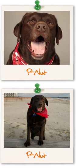 Labrador Retriever of the week - P-Nut