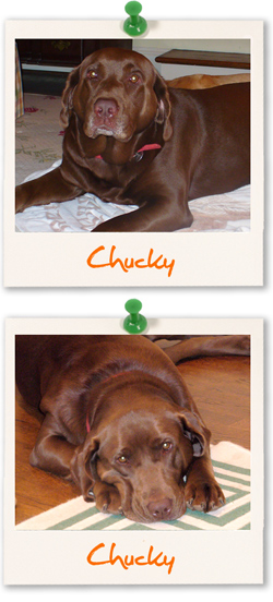 Labrador of the week - Chucky