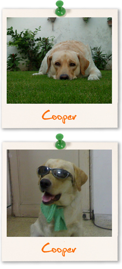Labrador Retriever of the week - Cooper