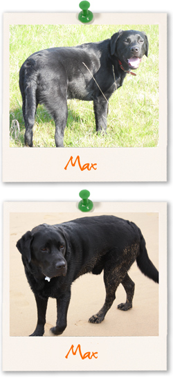 Labrador Retriever of the week is Max