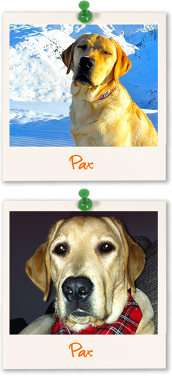 Labrador of the week - Pax